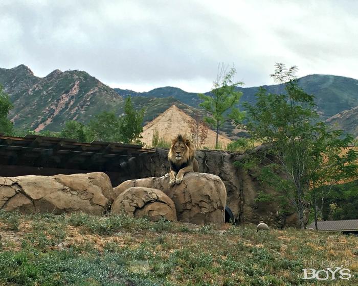 Utah's Hogle Zoo Lion