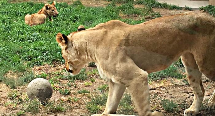 Utah's Hogle Zoo Lions