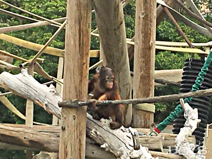 Utah's Hogle Zoo Baby Orangutan